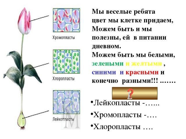 Мы веселые ребята цвет мы клетке придаем, Можем быть и мы полезны, ей в питании дневном. Можем быть мы белыми, зелеными и желтыми , синими и красными и конечно разными!!! .…… Пластиды: Лейкопласты -…... Хромопласты -…. Хлоропласты ….