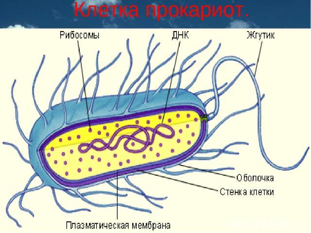 Клетка прокариот.