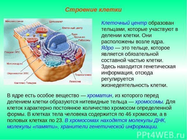 В ядре есть особое вещество — хроматин, из которого перед делением клетки образуются нитевидные тельца — хромосомы. Для клеток характерно постоянное количество хромосом определенной формы. В клетках тела человека содержится по 46 хромосом, а в полов…