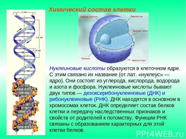 Нуклеиновые кислоты образуются в клеточном ядре. С этим связано их название (от лат. «нуклеус» — ядро). Они состоят из углерода, кислорода, водорода и азота и фосфора. Нуклеиновые кислоты бывают двух типов — дезоксирибонуклеиновые (ДНК) и рибонуклеи…