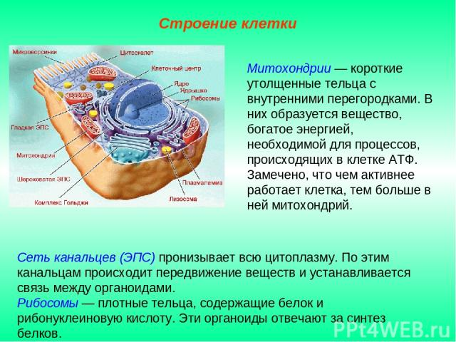 Сеть канальцев (ЭПС) пронизывает всю цитоплазму. По этим канальцам происходит передвижение веществ и устанавливается связь между органоидами. Рибосомы — плотные тельца, содержащие белок и рибонуклеиновую кислоту. Эти органоиды отвечают за синтез бел…