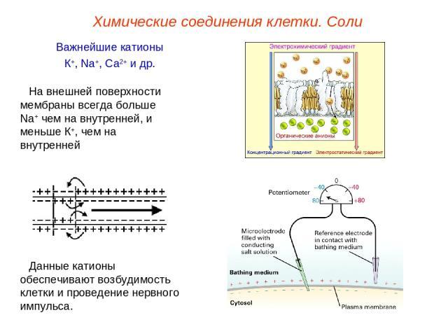 Важнейшие катионы К+, Na+, Ca2+ и др. Данные катионы обеспечивают возбудимость клетки и проведение нервного импульса. На внешней поверхности мембраны всегда больше Na+ чем на внутренней, и меньше К+, чем на внутренней Химические соединения клетки. Соли