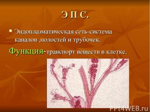 Э П С. Эндоплазматическая сеть-система каналов ,полостей и трубочек. Функция-тра