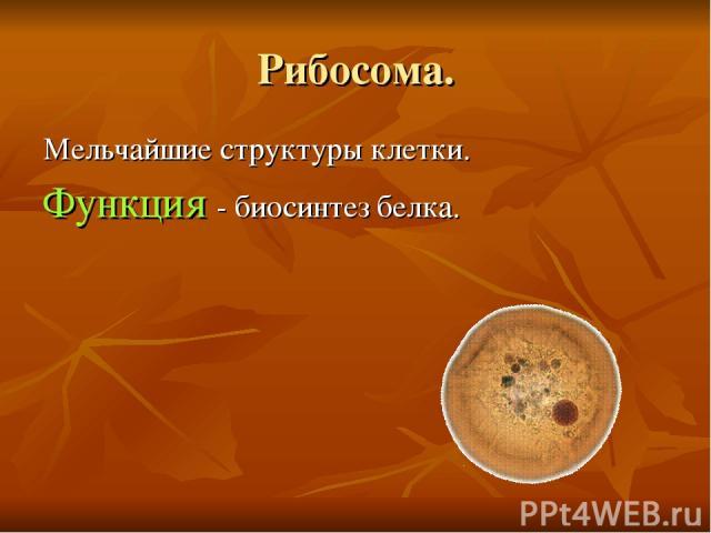 Рибосома. Мельчайшие структуры клетки. Функция - биосинтез белка.