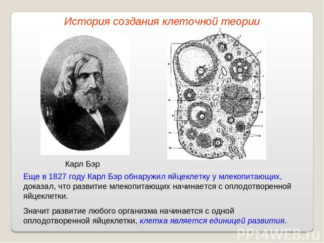 Карл Бэр Еще в 1827 году Карл Бэр обнаружил яйцеклетку у млекопитающих, доказал, что развитие млекопитающих начинается с оплодотворенной яйцеклетки. Значит развитие любого организма начинается с одной оплодотворенной яйцеклетки, клетка является един…