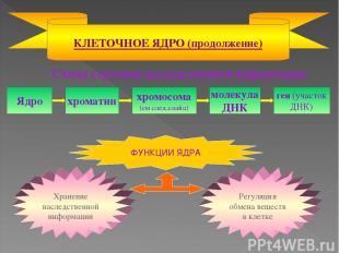 Схема строения наследственной информации КЛЕТОЧНОЕ ЯДРО (продолжение) Ядро хрома