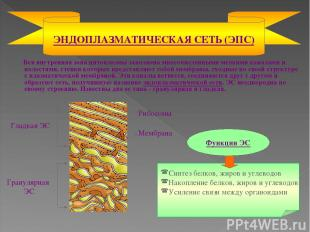 Вся внутренняя зона цитоплазмы заполнена многочисленными мелкими каналами и поло
