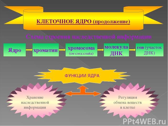Схема строения наследственной информации КЛЕТОЧНОЕ ЯДРО (продолжение) Ядро хроматин хромосома (см след.слайд) молекула ДНК ген (участок ДНК)