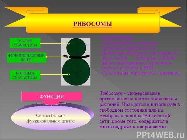 РИБОСОМЫ – ультрамикроскопические органеллы округлой или грибовидной формы, состоящие из двух частей — субчастиц. Они не имеют мембранного строения и состоят из белка и РНК. Субчастицы образуются в ядрышке. РИБОСОМЫ Рибосомы - универсальные органелл…