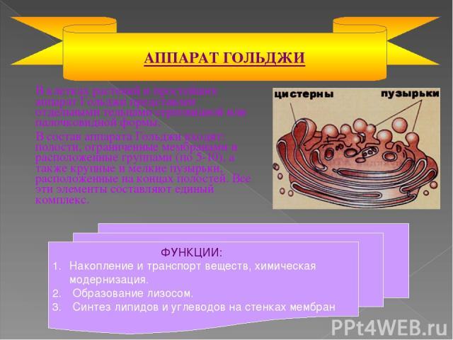 В клетках растений и простейших аппарат Гольджи представлен отдельными тельцами серповидной или палочковидной формы. В состав аппарата Гольджи входят: полости, ограниченные мембранами и расположенные группами (по 5-10), а также крупные и мелкие пузы…
