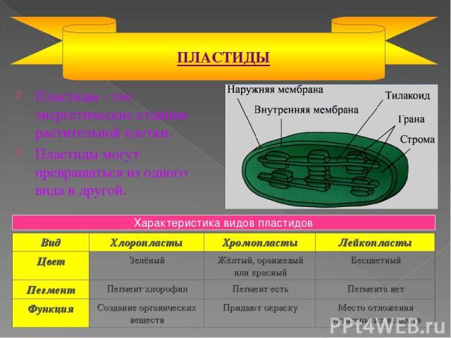 Пластиды - это энергетические станции растительной клетки. Пластиды могут превращаться из одного вида в другой. ПЛАСТИДЫ Характеристика видов пластидов Вид Хлоропласты Хромопласты Лейкопласты Цвет Зелёный Жёлтый, оранжевый или красный Бесцветный Пег…