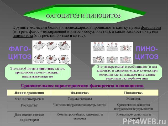 Сравнительная характеристика фагоцитоза и пиноцитоза ФАГОЦИТОЗ И ПИНОЦИТОЗ Крупные молекулы белков и полисахаридов проникают в клетку путем фагоцитоза (от греч. фагос - пожирающий и китос - сосуд, клетка), а капли жидкости - путем пиноцитоза (от гре…
