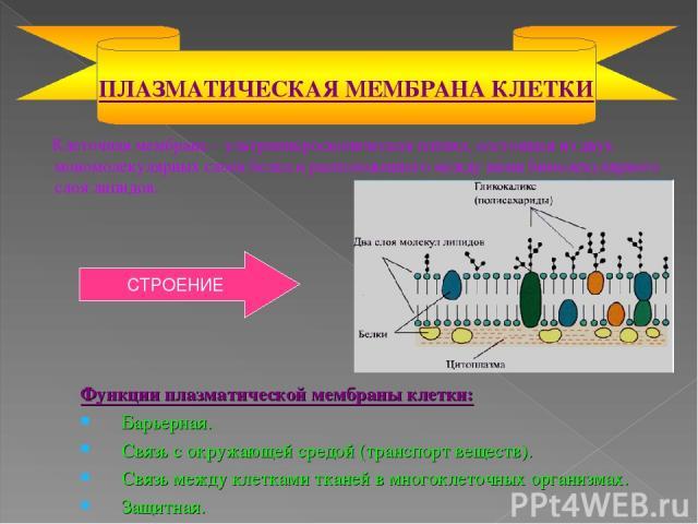 Клеточная мембрана – ультрамикроскопическая плёнка, состоящая из двух мономолекулярных слоев белка и расположенного между ними бимолекулярного слоя липидов. ПЛАЗМАТИЧЕСКАЯ МЕМБРАНА КЛЕТКИ Функции плазматической мембраны клетки: Барьерная. Связь с ок…
