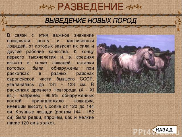 В связи с этим важное значение придавали росту и массивности лошадей, от которых зависят их сила и другие рабочие качества. К концу первого тысячелетия н. э. средняя высота в холке лошадей, останки которых были обнаружены при раскопках в разных райо…