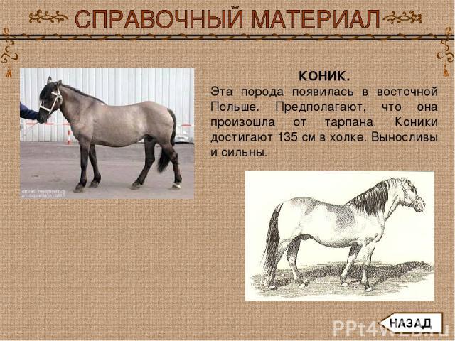 КОНИК. Эта порода появилась в восточной Польше. Предполагают, что она произошла от тарпана. Коники достигают 135 см в холке. Выносливы и сильны. НАЗАД