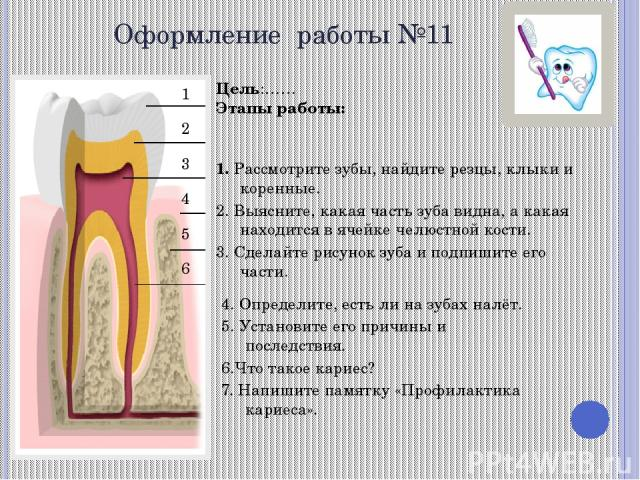 Оформление работы №11 Цель:…… Этапы работы: 1. Рассмотрите зубы, найдите резцы, клыки и коренные. 2. Выясните, какая часть зуба видна, а какая находится в ячейке челюстной кости. 3. Сделайте рисунок зуба и подпишите его части. 4. Определите, есть ли…