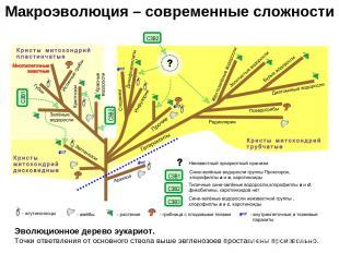 Макроэволюция – современные сложности Эволюционное дерево эукариот. Точки ответв