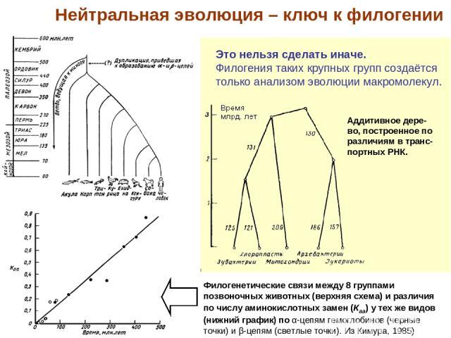 Филогенетические связи между 8 группами позвоночных животных (верхняя схема) и различия по числу аминокислотных замен (Каа) у тех же видов (нижний график) по α-цепям гемоглобинов (черные точки) и β-цепям (светлые точки). Из Кимура, 1985) Аддитивное …