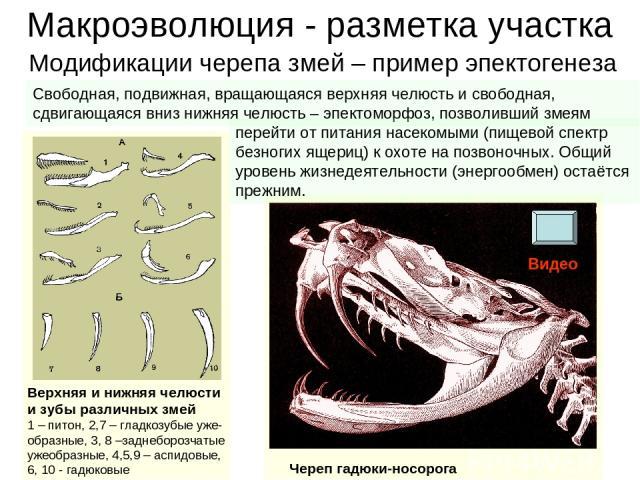 Макроэволюция - разметка участка Верхняя и нижняя челюсти и зубы различных змей 1 – питон, 2,7 – гладкозубые уже-образные, 3, 8 –заднеборозчатые ужеобразные, 4,5,9 – аспидовые, 6, 10 - гадюковые Череп гадюки-носорога Модификации черепа змей – пример…