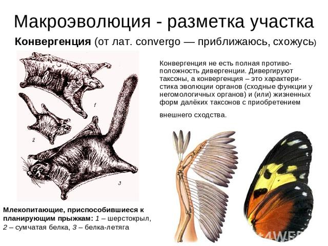 Макроэволюция - разметка участка Конвергенция не есть полная противо-положность дивергенции. Дивергируют таксоны, а конвергенция – это характери-стика эволюции органов (сходные функции у негомологичных органов) и (или) жизненных форм далёких таксоно…