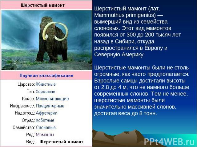 Шерстистый мамонт (лат. Mammuthus primigenius) — вымерший вид из семейства слоновых. Этот вид мамонтов появился от 300 до 200 тысяч лет назад в Сибири, откуда распространился в Европу и Северную Америку. Шерстистые мамонты были не столь огромные, ка…