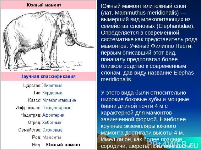 Южный мамонт или южный слон (лат. Mammuthus meridionalis) — вымерший вид млекопитающих из семейства слоновых (Elephantidae). Определяется в современной систематике как представитель рода мамонтов. Учёный Филиппо Нести, первым описавший этот вид, пон…