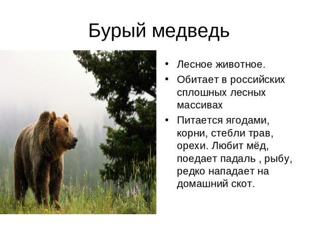 Бурый медведь Лесное животное. Обитает в российских сплошных лесных массивах Питается ягодами, корни, стебли трав, орехи. Любит мёд, поедает падаль , рыбу, редко нападает на домашний скот.