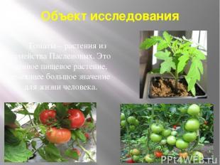 Объект исследования Томаты – растения из семейства Пасленовых. Это ценное пищево