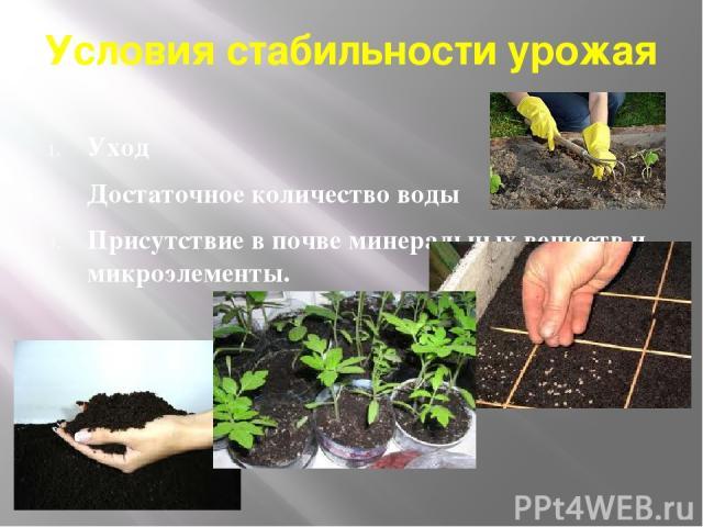Условия стабильности урожая Уход Достаточное количество воды Присутствие в почве минеральных веществ и микроэлементы.