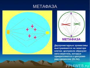 МЕТАФАЗА Двухроматидные хромасомы выстраиваются на экваторе клетки; центриоли об