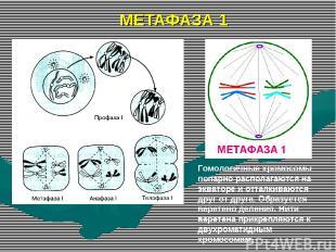МЕТАФАЗА 1 Гомологичные хромосомы попарно располагаются на экваторе и отталкиваю