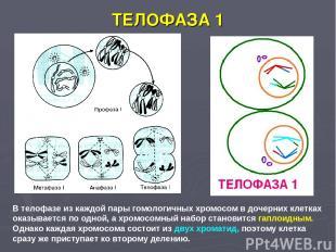 ТЕЛОФАЗА 1 В телофазе из каждой пары гомологичных хромосом в дочерних клетках ок