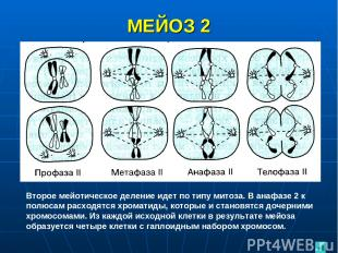 МЕЙОЗ 2 Второе мейотическое деление идет по типу митоза. В анафазе 2 к полюсам р