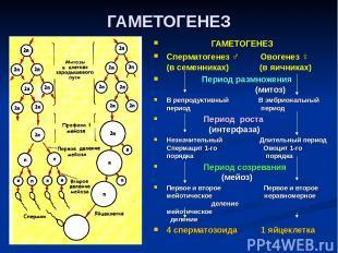 ГАМЕТОГЕНЕЗ ГАМЕТОГЕНЕЗ Сперматогенез ♂ Овогенез ♀ (в семенниках) (в яичниках) П