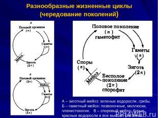 Разнообразные жизненные циклы (чередование поколений) А – зиготный мейоз: зелены