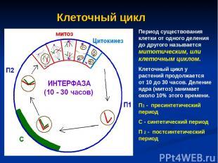 Клеточный цикл Период существования клетки от одного деления до другого называет