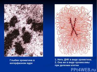 Глыбки хроматина в интерфазном ядре 1. Нить ДНК в виде хроматина. 2. Она же в ви