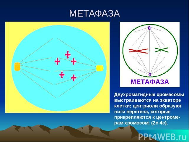 МЕТАФАЗА Двухроматидные хромасомы выстраиваются на экваторе клетки; центриоли образуют нити веретена, которые прикрепляются к центроме-рам хромосом; (2n 4c).