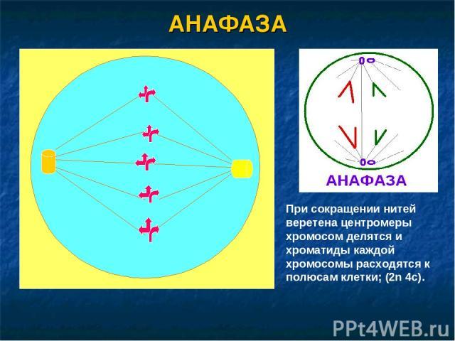 АНАФАЗА При сокращении нитей веретена центромеры хромосом делятся и хроматиды каждой хромосомы расходятся к полюсам клетки; (2n 4c).