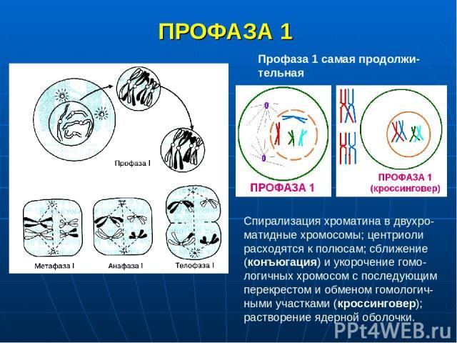 ПРОФАЗА 1 Профаза 1 самая продолжи-тельная Спирализация хроматина в двухро-матидные хромосомы; центриоли расходятся к полюсам; сближение (конъюгация) и укорочение гомо-логичных хромосом с последующим перекрестом и обменом гомологич-ными участками (к…