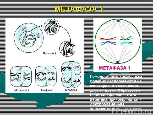 МЕТАФАЗА 1 Гомологичные хромосомы попарно располагаются на экваторе и отталкиваются друг от друга. Образуется веретено деления. Нити веретена прикрепляются к двухроматидным хромосомам.
