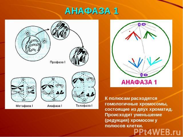 АНАФАЗА 1 К полюсам расходятся гомологичные хромосомы, состоящие из двух хроматид. Происходит уменьшение (редукция) хромосом у полюсов клетки.
