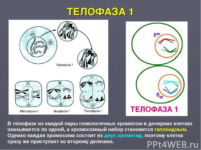 ТЕЛОФАЗА 1 В телофазе из каждой пары гомологичных хромосом в дочерних клетках оказывается по одной, а хромосомный набор становится гаплоидным. Однако каждая хромосома состоит из двух хроматид, поэтому клетка сразу же приступает ко второму делению.