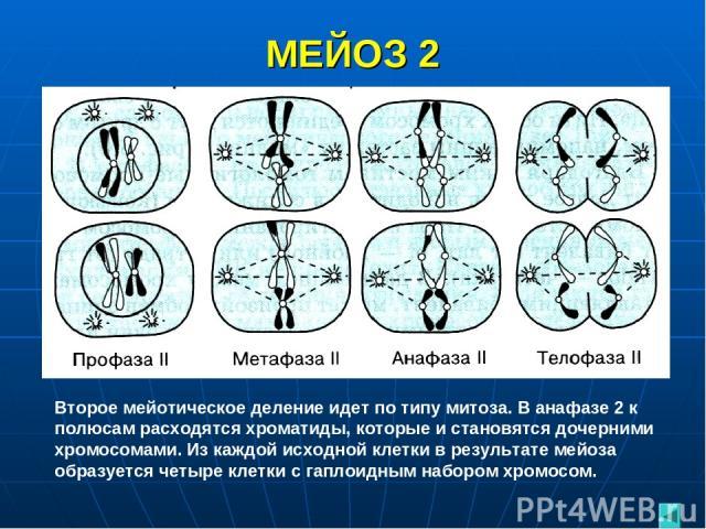 МЕЙОЗ 2 Второе мейотическое деление идет по типу митоза. В анафазе 2 к полюсам расходятся хроматиды, которые и становятся дочерними хромосомами. Из каждой исходной клетки в результате мейоза образуется четыре клетки с гаплоидным набором хромосом.