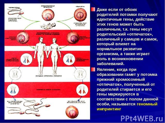 Даже если от обоих родителей потомки получают идентичные гены, действие этих генов может быть различным, т.к. гены несут родительский «отпечаток», различный у самцов и самок, который влияет на нормальное развитие организма, а также играет роль в воз…