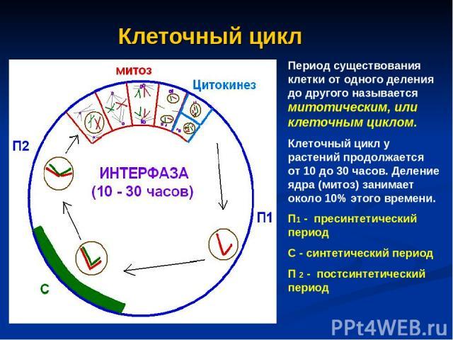 Клеточный цикл Период существования клетки от одного деления до другого называется митотическим, или клеточным циклом. Клеточный цикл у растений продолжается от 10 до 30 часов. Деление ядра (митоз) занимает около 10% этого времени. П1 - пресинтетиче…