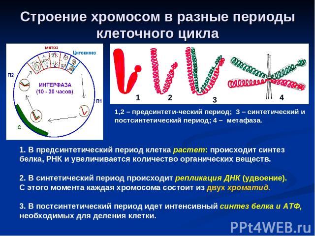 Строение хромосом в разные периоды клеточного цикла 1 2 3 4 1,2 – предсинтети-ческий период; 3 – синтетический и постсинтетический период; 4 – метафаза. 1. В предсинтетический период клетка растет: происходит синтез белка, РНК и увеличивается количе…