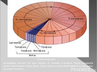 Клеточный цикл. Интерфаза состоит из трех этапов. В течение 4–8часов после рожд