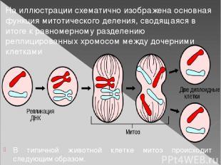 В типичной животной клетке митоз происходит следующим образом. На иллюстрации сх