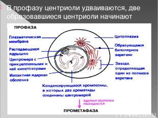 В профазу центриоли удваиваются, две образовавшиеся центриоли начинают расходить